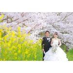 ロケーション撮影フォト ウェディング 桜 菜の花 前撮り